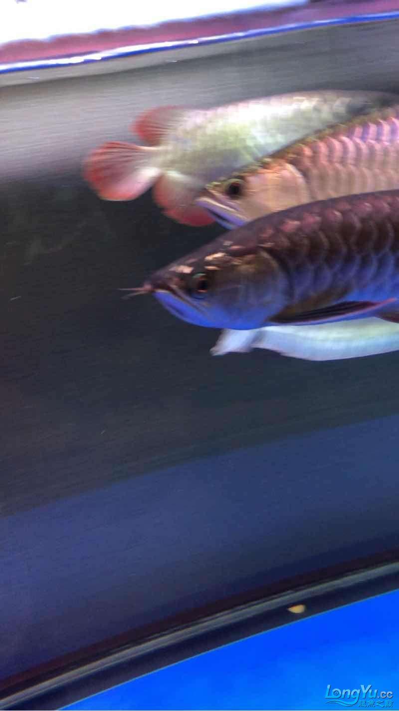 下雨天☔️、掉下来的龙鱼美餐:) 西安观赏鱼信息 西安博特第1张