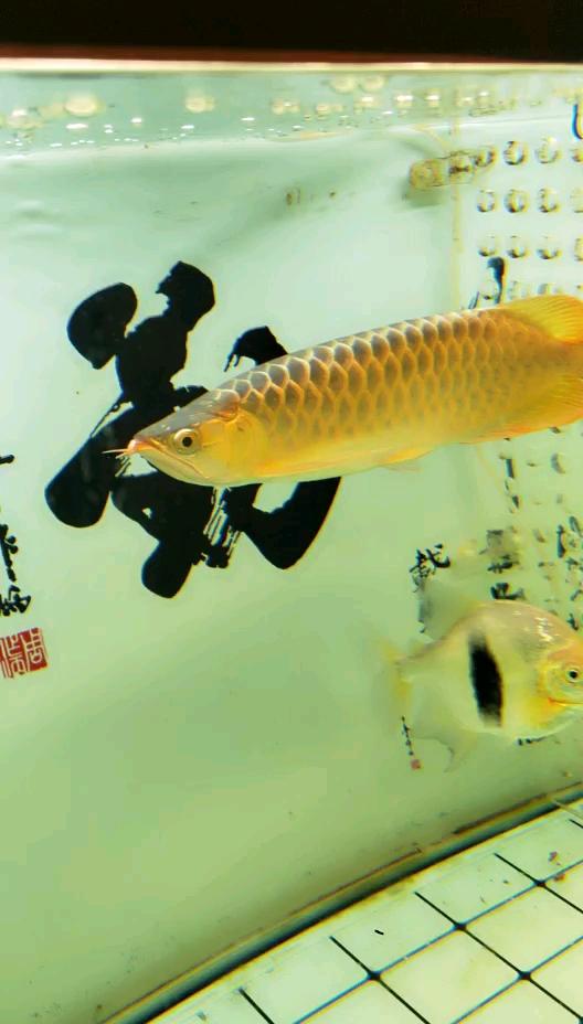 这黄龙还可以吧 西安观赏鱼信息