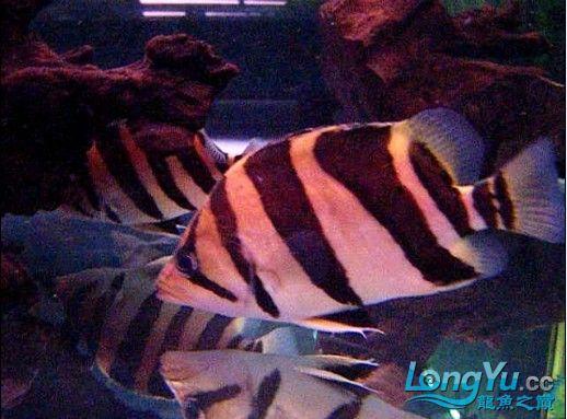 年底很忙帖子很少偷闲分享一条不错的印尼!!! 西安龙鱼论坛 西安博特第1张