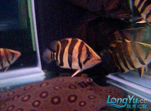 年底很忙帖子很少偷闲分享一条不错的印尼!!! 西安龙鱼论坛 西安博特第2张
