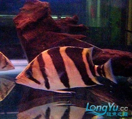 年底很忙帖子很少偷闲分享一条不错的印尼!!! 西安龙鱼论坛 西安博特第4张