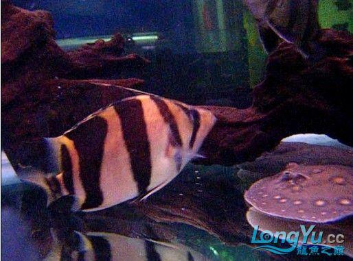 年底很忙帖子很少偷闲分享一条不错的印尼!!! 西安龙鱼论坛 西安博特第3张