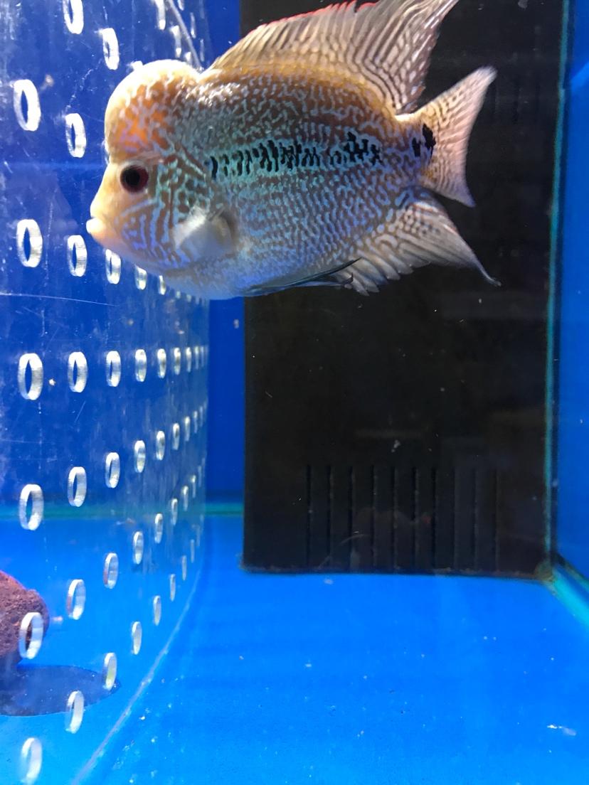 泰国水头罗汉中鱼 西安观赏鱼信息 西安博特第1张