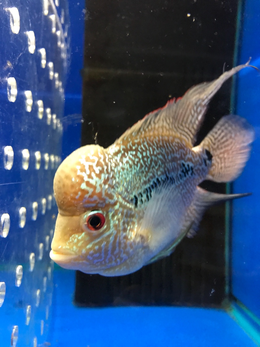 泰国水头罗汉中鱼 西安观赏鱼信息 西安博特第3张