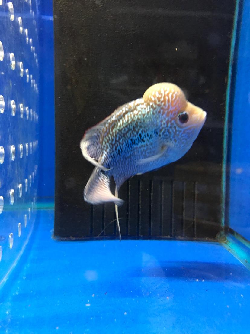 泰国水头罗汉中鱼 西安观赏鱼信息 西安博特第8张