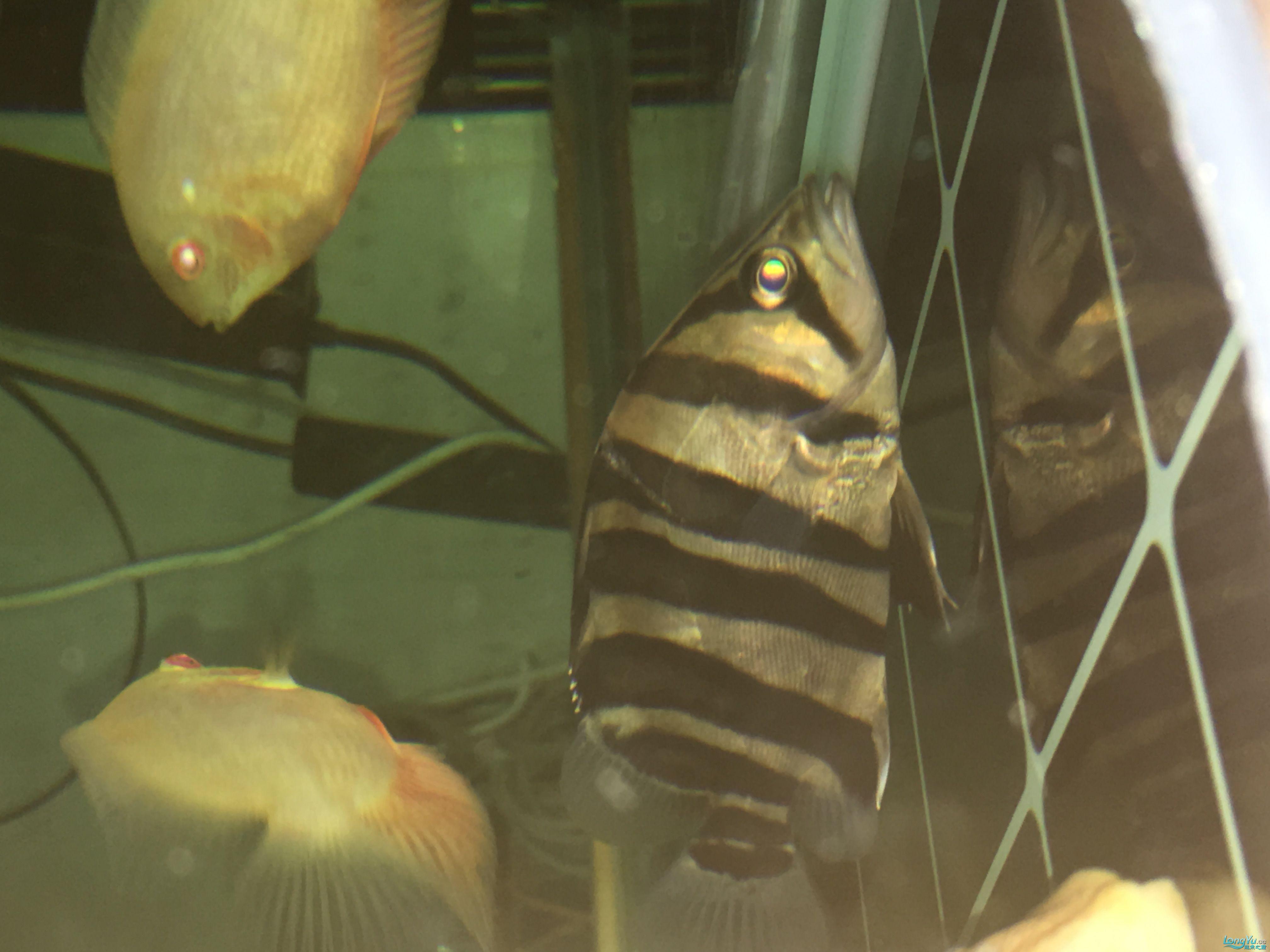 麻烦养虎的高手给我看看 西安龙鱼论坛 西安博特第2张