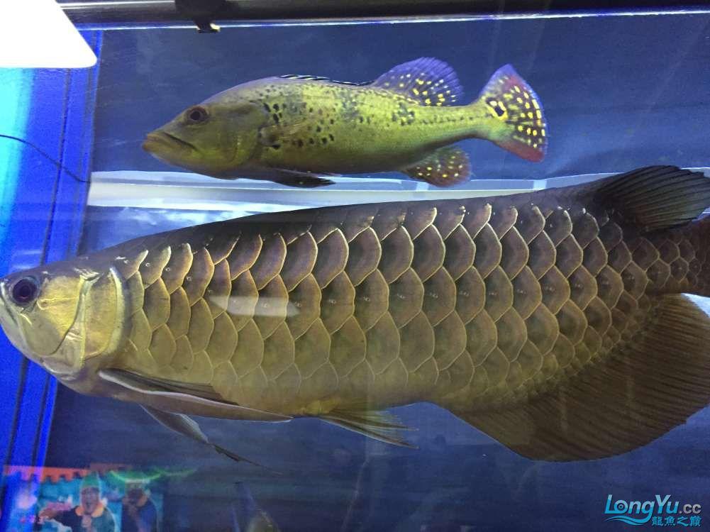 高背宝石2年 45+ 西安龙鱼论坛 西安博特第5张