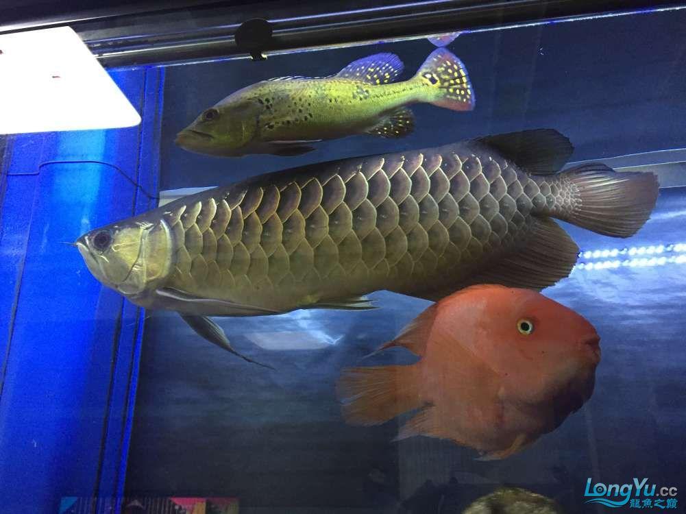 高背宝石2年 45+ 西安龙鱼论坛 西安博特第4张