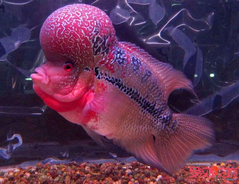 我是不是极品? 西安观赏鱼信息 西安博特第1张
