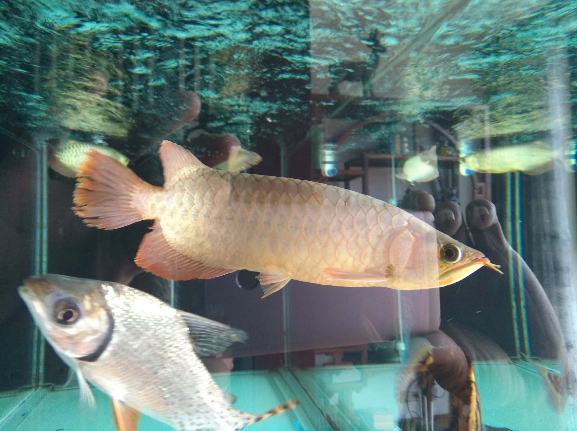 【西安黑桃A鱼】自然光透缸努力发色中 西安观赏鱼信息 西安博特第1张