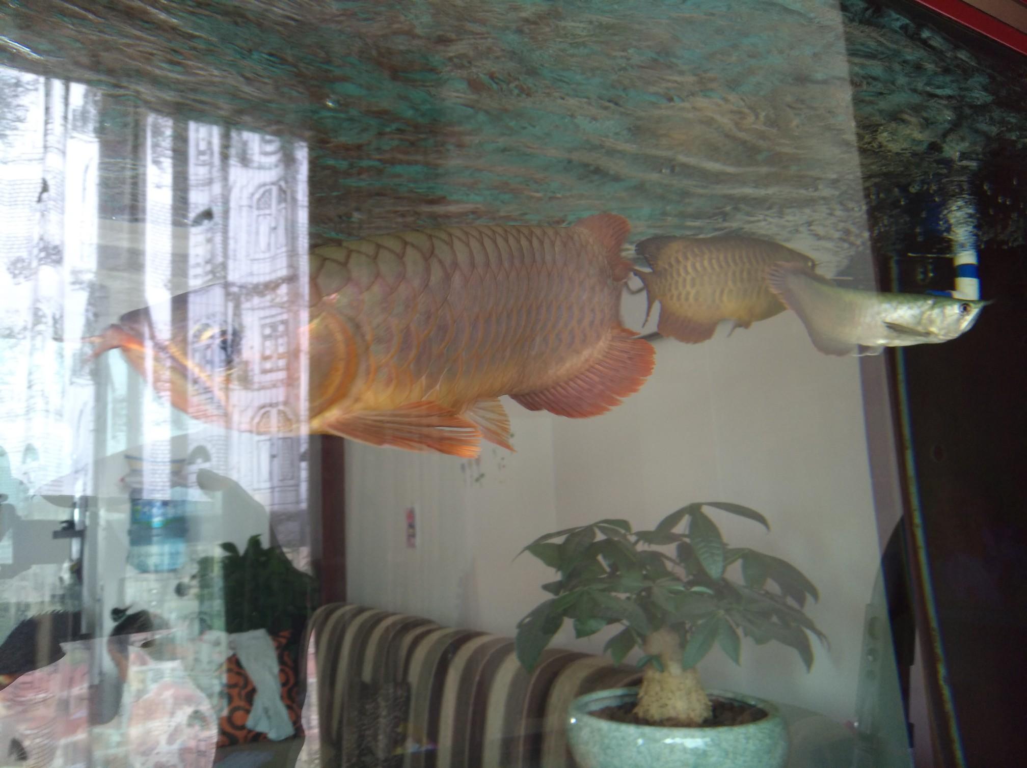 【西安黑桃A鱼】自然光透缸努力发色中 西安观赏鱼信息 西安博特第3张