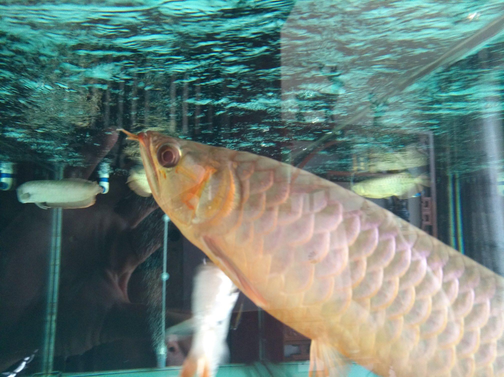 【西安黑桃A鱼】自然光透缸努力发色中 西安观赏鱼信息 西安博特第2张