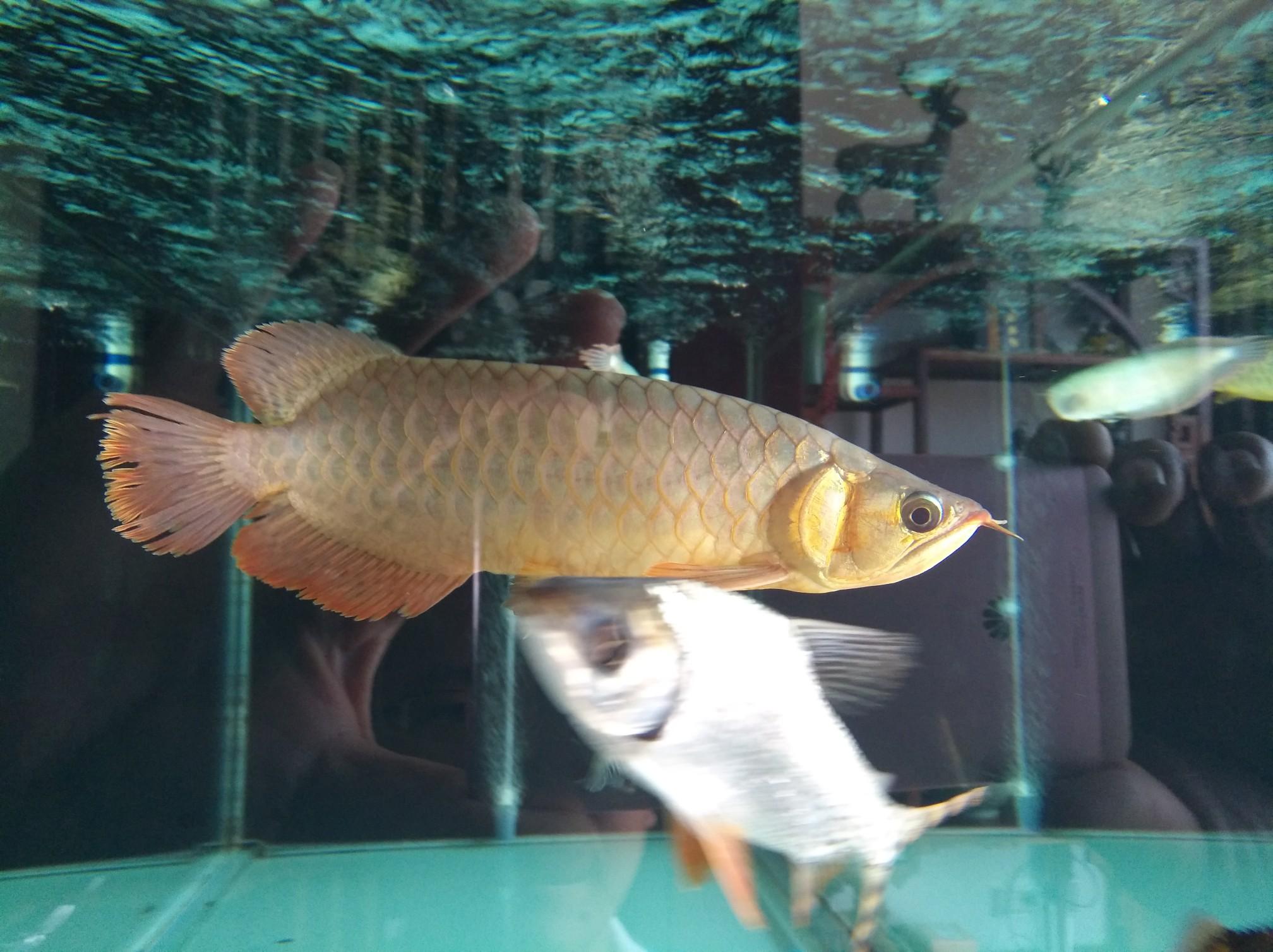 【西安黑桃A鱼】自然光透缸努力发色中 西安观赏鱼信息 西安博特第5张