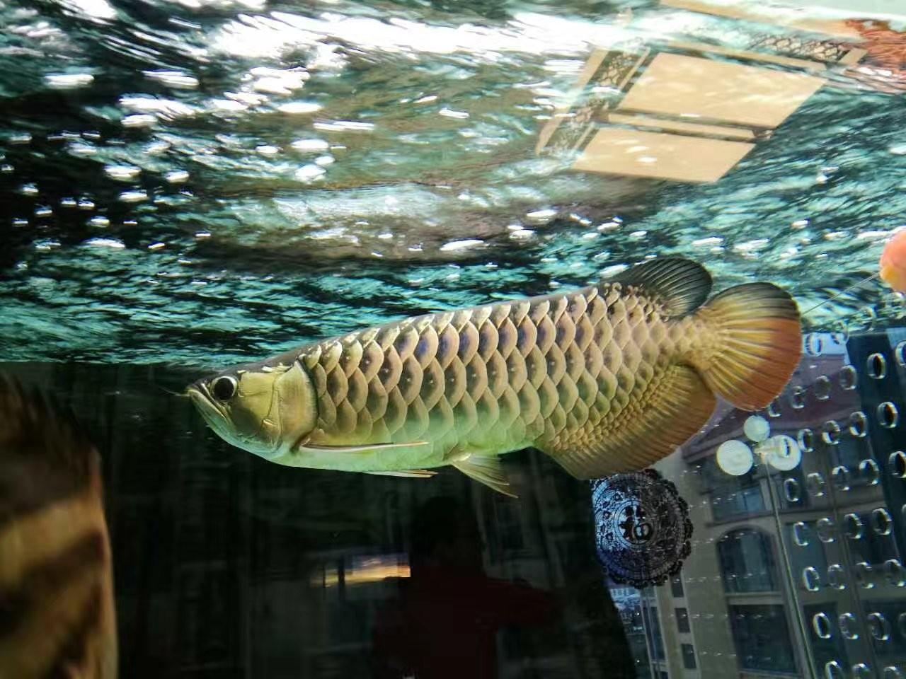 【西安黑桃A鱼】自然光透缸努力发色中 西安观赏鱼信息 西安博特第7张
