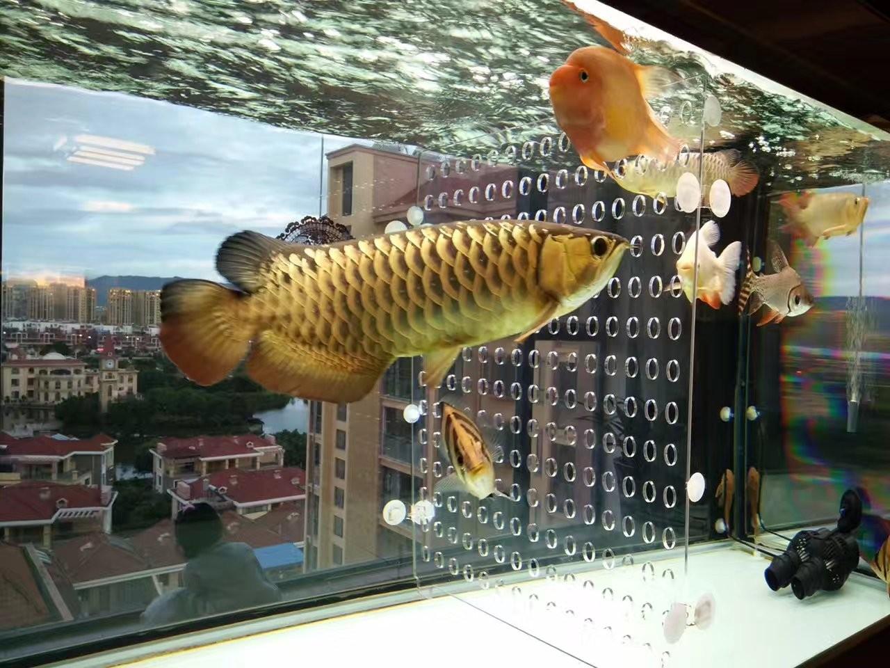 【西安黑桃A鱼】自然光透缸努力发色中 西安观赏鱼信息 西安博特第6张
