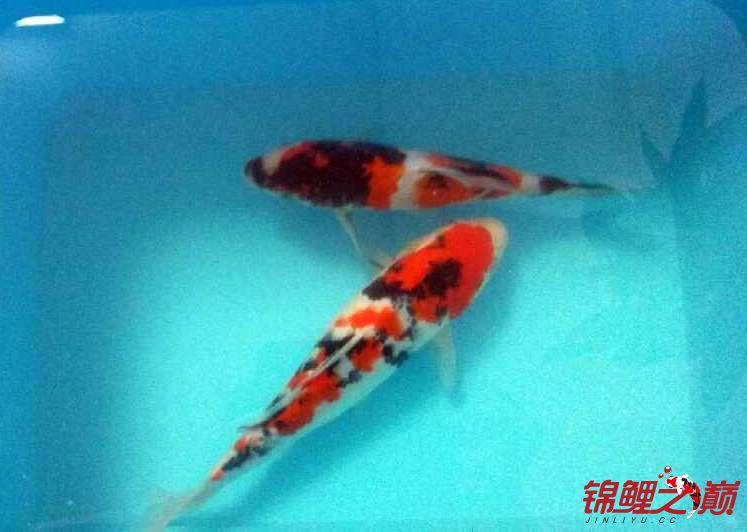 求助锦鲤烂尾烂鳍怎么办? 西安观赏鱼信息 西安博特第3张