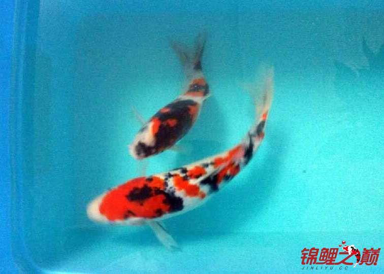 求助锦鲤烂尾烂鳍怎么办? 西安观赏鱼信息 西安博特第5张