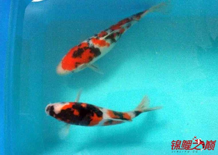 求助锦鲤烂尾烂鳍怎么办? 西安观赏鱼信息 西安博特第4张