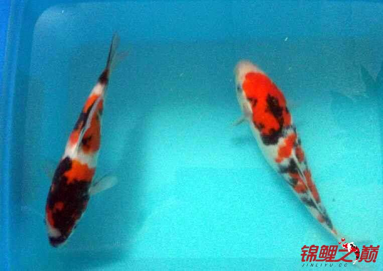 求助锦鲤烂尾烂鳍怎么办? 西安观赏鱼信息 西安博特第8张