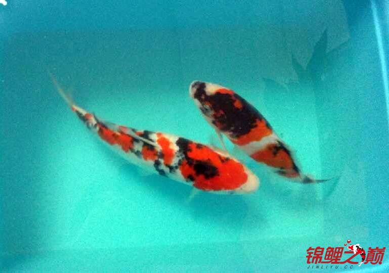 求助锦鲤烂尾烂鳍怎么办? 西安观赏鱼信息 西安博特第7张