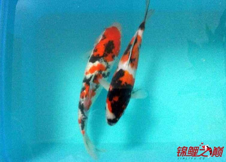 求助锦鲤烂尾烂鳍怎么办? 西安观赏鱼信息 西安博特第6张