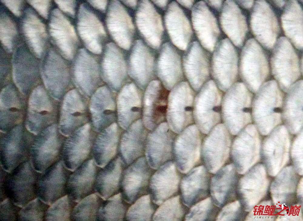 求助锦鲤烂尾烂鳍怎么办? 西安观赏鱼信息 西安博特第11张