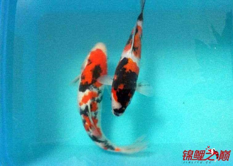 求助锦鲤烂尾烂鳍怎么办? 西安观赏鱼信息 西安博特第9张
