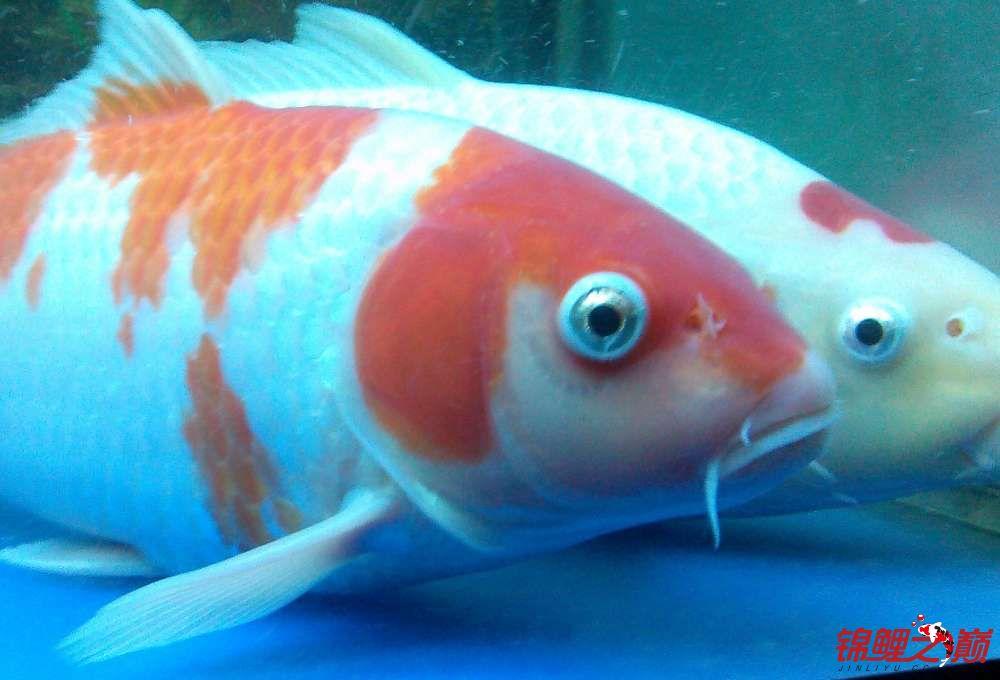 求助锦鲤烂尾烂鳍怎么办? 西安观赏鱼信息 西安博特第13张