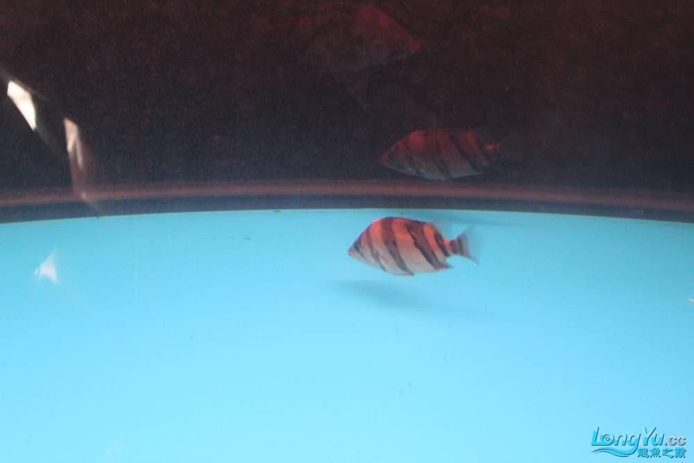 虎毒太深昨日又进了几条小虎 西安观赏鱼信息 西安博特第1张