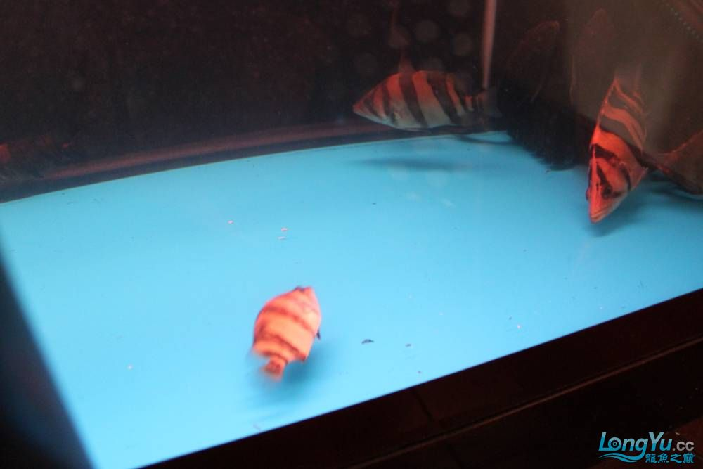 虎毒太深昨日又进了几条小虎 西安观赏鱼信息 西安博特第3张