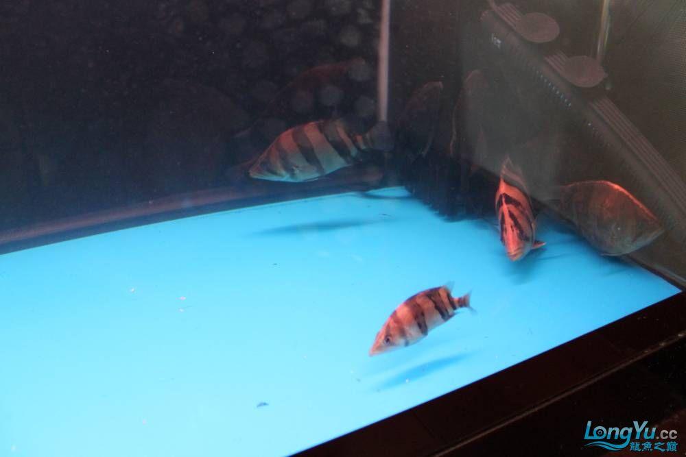 虎毒太深昨日又进了几条小虎 西安观赏鱼信息 西安博特第4张