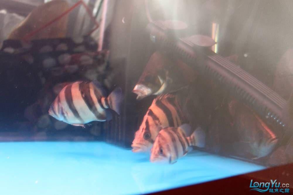 虎毒太深昨日又进了几条小虎 西安观赏鱼信息 西安博特第7张