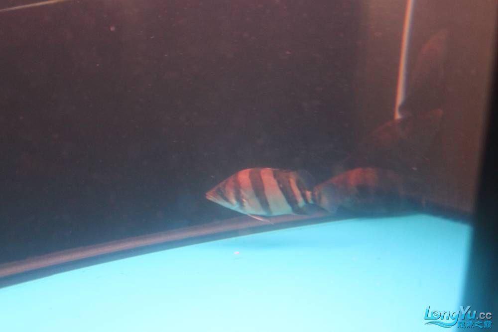 虎毒太深昨日又进了几条小虎 西安观赏鱼信息 西安博特第9张