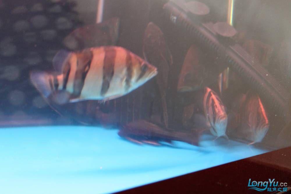 虎毒太深昨日又进了几条小虎 西安观赏鱼信息 西安博特第8张