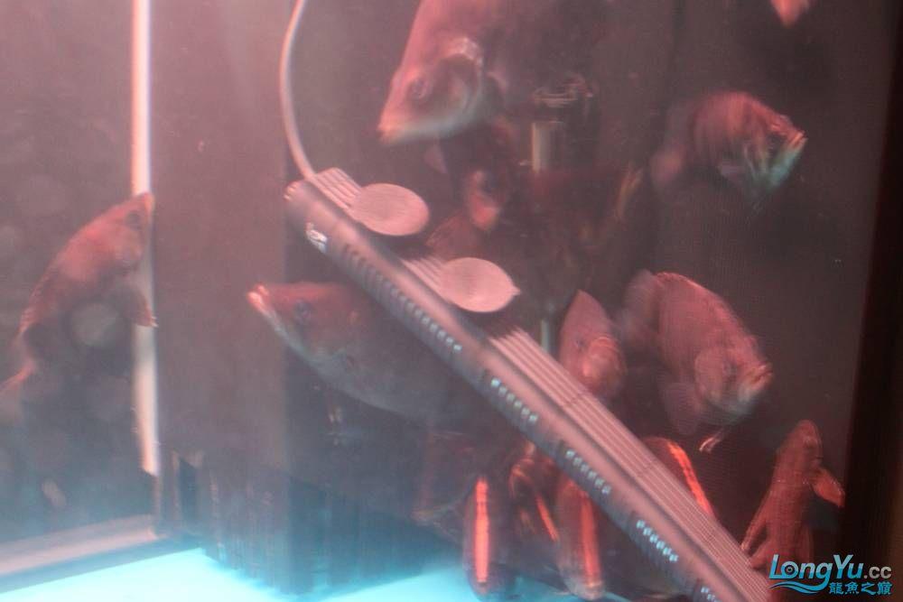 虎毒太深昨日又进了几条小虎 西安观赏鱼信息 西安博特第11张