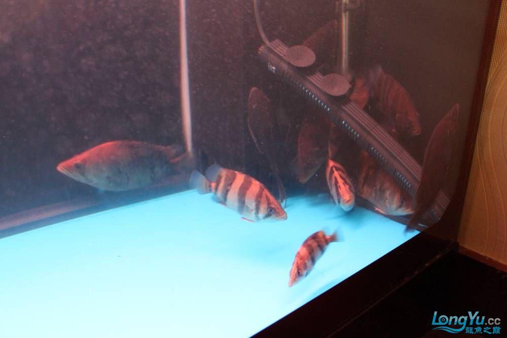 虎毒太深昨日又进了几条小虎 西安观赏鱼信息 西安博特第10张
