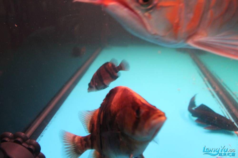 虎毒太深昨日又进了几条小虎 西安观赏鱼信息 西安博特第15张