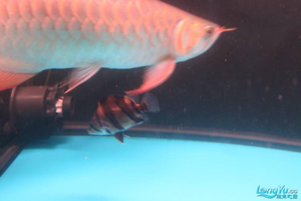 虎毒太深昨日又进了几条小虎 西安观赏鱼信息 西安博特第14张