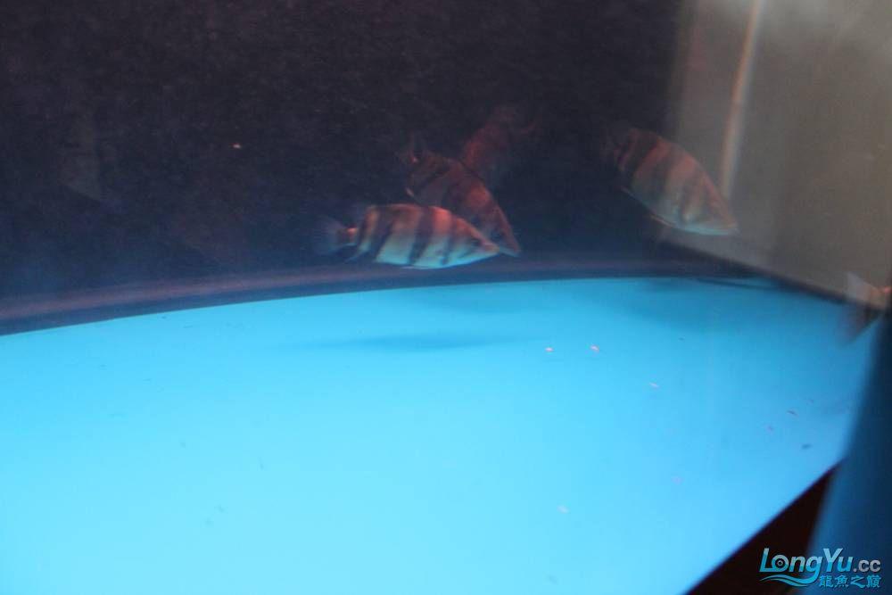 虎毒太深昨日又进了几条小虎 西安观赏鱼信息 西安博特第16张
