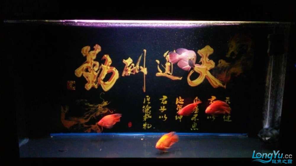 此龙如何?? 西安观赏鱼信息 西安博特第1张