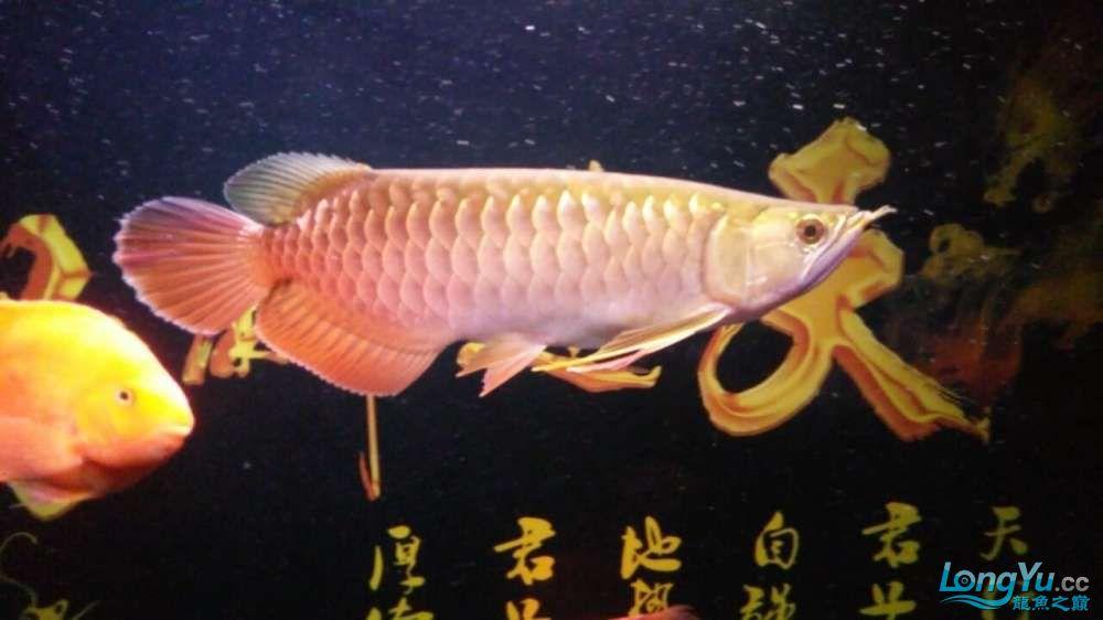 此龙如何?? 西安观赏鱼信息 西安博特第6张
