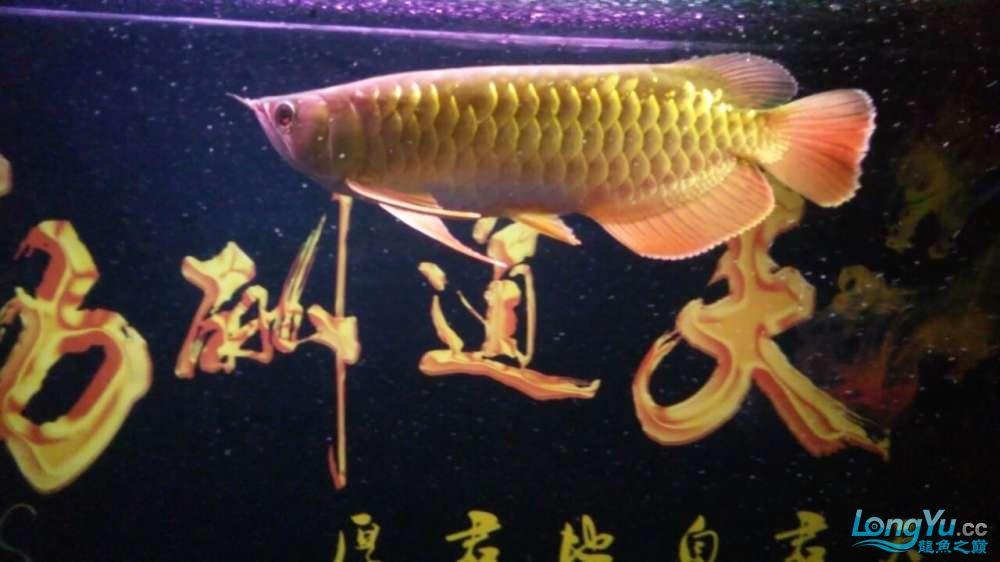 此龙如何?? 西安观赏鱼信息 西安博特第7张