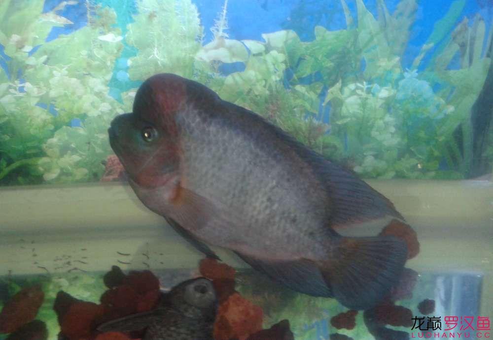 颜色淡黑 西安观赏鱼信息