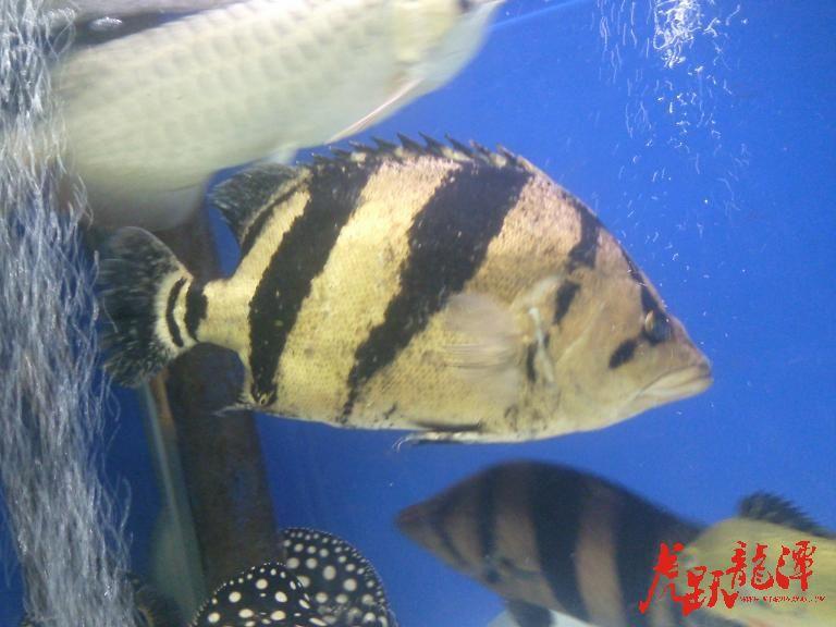 海水鱼还吃蔬菜呢 西安龙鱼论坛 西安博特第1张