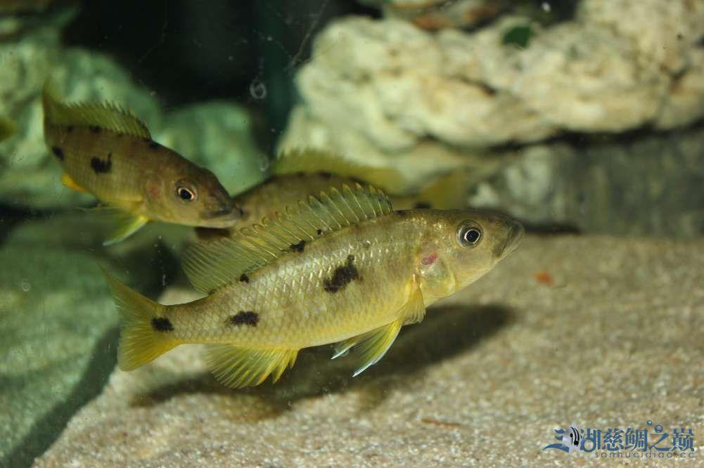 名鱼有主2金鹰的变化 西安观赏鱼信息 西安博特第1张
