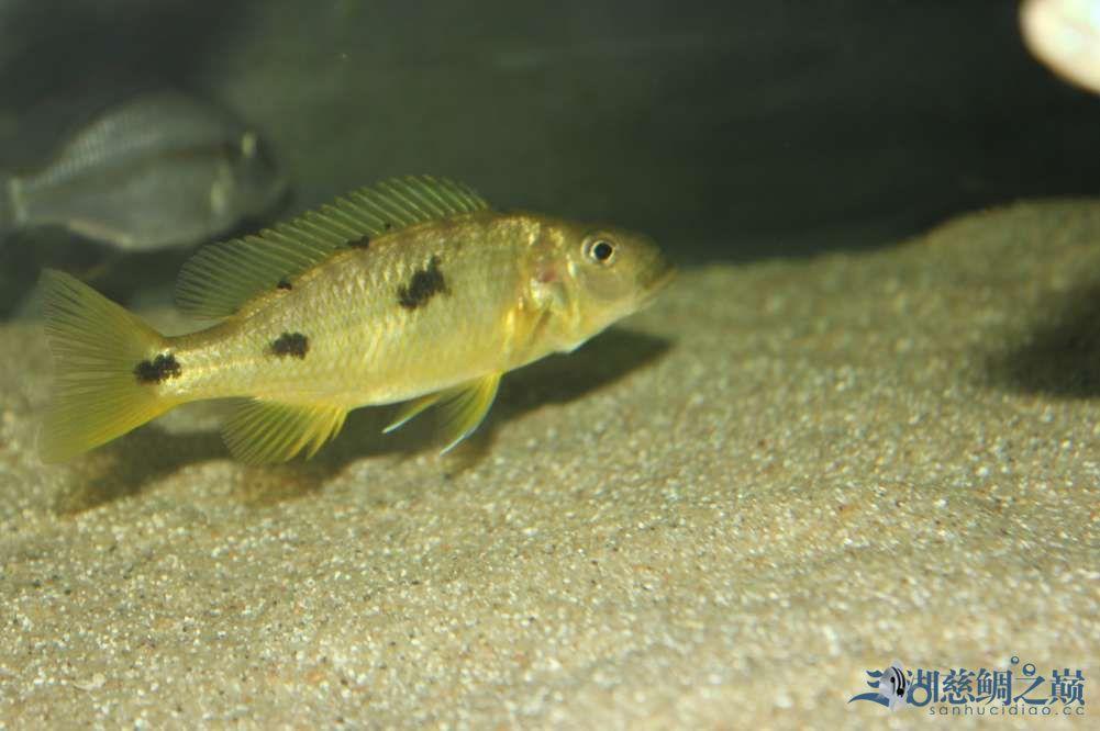 名鱼有主2金鹰的变化 西安观赏鱼信息 西安博特第2张