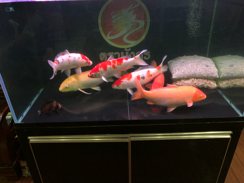 红鲤【西安鱼缸】鱼与绿鲤鱼 西安观赏鱼信息 西安博特第2张