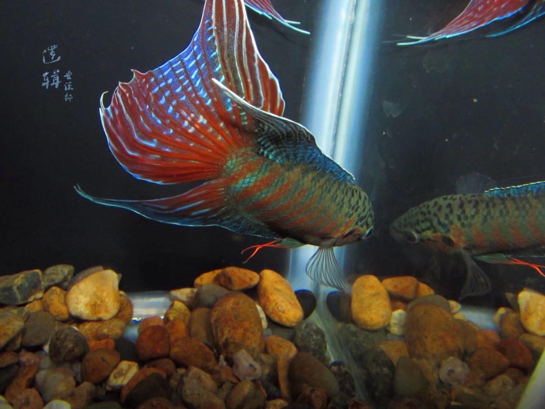 《说鱼~搜鱼》普普相争 西安观赏鱼信息 西安博特第3张