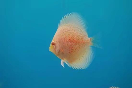 伍时盛先生到俱乐【西安印尼红龙鱼】部检查工作 西安龙鱼论坛 西安博特第4张