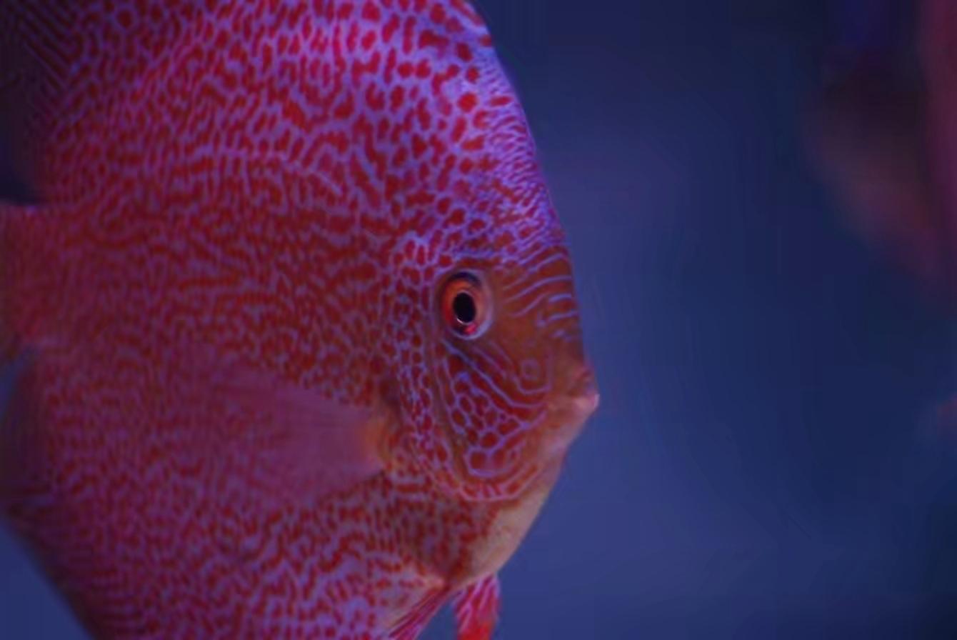 伍时盛先生到俱乐【西安印尼红龙鱼】部检查工作 西安龙鱼论坛 西安博特第3张